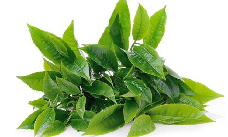 Lá trà xanh có khả năng làm sạch da, kháng viêm, kháng khuẩn, làm chậm quá trình lão hóa, hỗ trợ phục hồi và tái tạo vùng da bị chàm